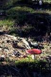 Toadstool в лесе Стоковые Фото
