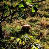 Toadstool в Солнце Стоковая Фотография