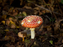 toadstool грибка мухы agaric Стоковые Фотографии RF