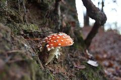 Toadstool - изображение конца-вверх ядовитого гриба Стоковые Фотографии RF
