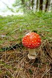 Toadstool Fotos de Stock