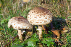 Toadstool Royalty Free Stock Image