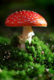 Toadstool. Fly agaric toadstool in moss stock photo