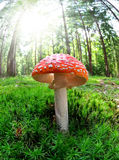 Toadstool Stock Photo