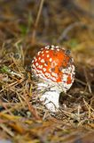Toadstool. Poisonous mushroom toadstool with a red hat Royalty Free Stock Photo