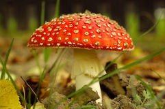 Toadstool Photo libre de droits