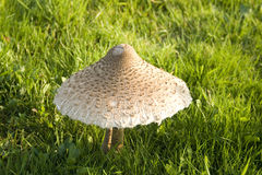 Toadstool Photos stock