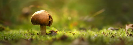 Toadstool against a soft natural background in early morning light stock images