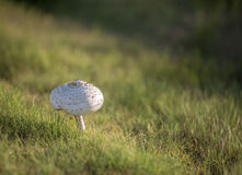 Toadstool - Amanita muscaria. Poisonous toad stool in a bed of green grass Royalty Free Stock Photos
