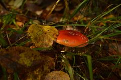 Toadstool in the autumn forest royalty free stock photos