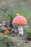 Toadstool, close up of a poisonous mushroom in the forest. Royalty Free Stock Image