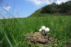 Toadstool, der im Kuh-Mist wächst Stockfotos