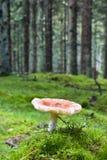 Toadstool en bosque Fotos de archivo