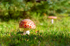 Toadstool - fly agaric Royalty Free Stock Images