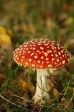 Toadstool in a forest Royalty Free Stock Photography