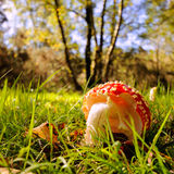 Toadstool on forest floor Royalty Free Stock Photography