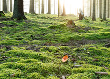 Toadstool in forest in sunrise. Red, poisonous toadstool in forest in sunrise, moss, tree trunks Royalty Free Stock Image