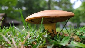 Toadstool in the Grass. Fungi toadstool popping up through the grass in the yard with a light brown umbrella Stock Photos