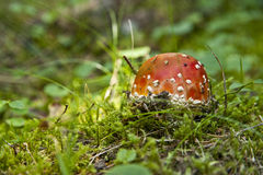 Toadstool in a grass Stock Image