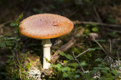 Toadstool in a grass Stock Photography