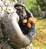 A Toadstool Growing in the Hollow of a Tree Royalty Free Stock Photo
