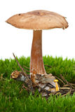 Toadstool growned on the moss Royalty Free Stock Photos