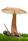 Toadstool growning on the moss Stock Images