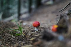 Toadstool hidden in the woods royalty free stock images