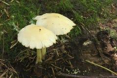Toadstool, hongo venenoso imagen de archivo libre de regalías