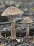 Toadstool mushroom. Toadstool (Amanita pantherina) mushroom near the forest tree, closeup royalty free stock photos