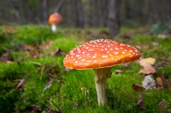 Toadstool mushroom in forest royalty free stock photos