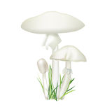 Toadstool  mushroom isolated on white background. Royalty Free Stock Images