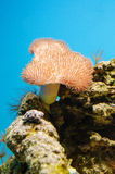 Toadstool Mushroom Leather Coral Stock Photo