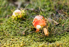 Toadstool mushroom. Young toadstool mushroom, freshly grown from the ground, another toadstool appearing on the background. Moss and grass around, evening light Stock Images