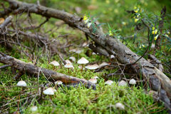 Toadstool mushrooms in the forest Stock Photos