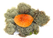 Toadstool mushrooms in fresh grey moss isolated. On white Royalty Free Stock Photos