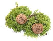 Toadstool mushrooms in fresh juicy green moss isolated on white. Toadstool  mushrooms in fresh juicy green moss isolated on white Royalty Free Stock Photos