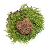 Toadstool mushrooms in fresh juicy green moss isolated on white. Toadstool mushrooms in fresh juicy green moss isolated on  white Royalty Free Stock Images