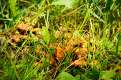 Toadstool mushrooms in the grass Stock Photos
