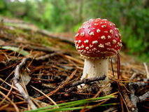 Toadstool na floresta Fotos de Stock