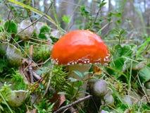 Toadstool Amánita Mushroom Stock Images