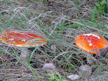 Toadstool Amánita Mushroom Royalty Free Stock Image