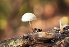 Toadstool on old log. Close-up nature Royalty Free Stock Images