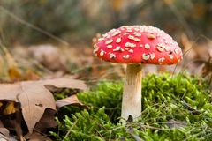 Toadstool rojo en bosque Imagenes de archivo