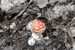 Toadstool rojo en el bosque Fotos de archivo