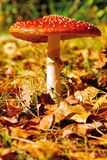 Toadstool rouge 3 photos libres de droits