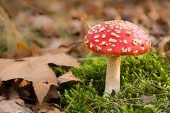 Toadstool rouge dans la forêt d'automne Photographie stock libre de droits