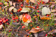 Toadstool Royalty Free Stock Photography