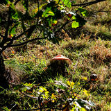 Toadstool in the Sun. A toadstool with the sun glinting off it and shinning through the leaves giving a translucent effect. Toadstool hidden in  changing Stock Photography