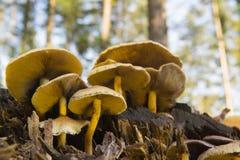 Toadstools Брайна в лесе Стоковая Фотография RF